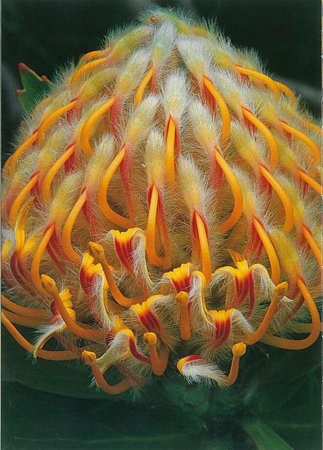 Leucospermom 'Veldfire' Photo: Timber Press