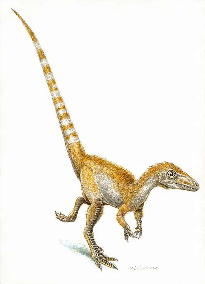 This January 2010 rendering by artist Jim Robins, provided by the University of Bristol shows a single sinosauropteryx, sporting its orange and white striped tail. Scientists have for the first time confirmed color in a dinosaur. Don't think purple Barney, but reddish-orange Conan O'Brien. Photo: AP