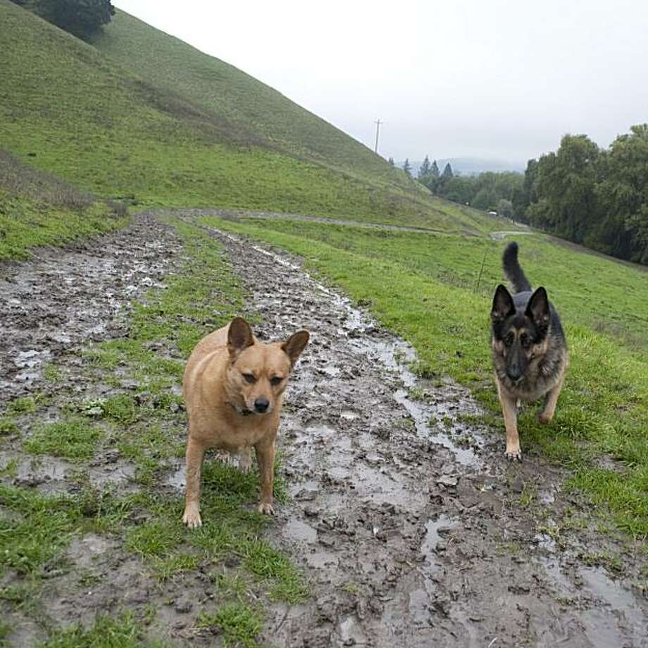 Winter rains create muddy trails -- and soon to be muddy dogs -- like the Bolinger Creek Trail at Las Trampas Regional Wilderness near San Ramon Photo: Logan Lewis