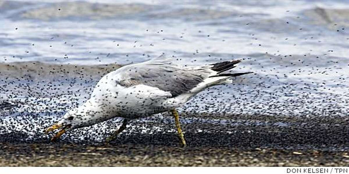 A California gull gorges on alkali flies on the west shore of Mono Lake, Calif. Illustrates CALIF-MONOLAKE (category a) by Louis Sahagun (c) 2008, Los Angeles Times. Moved Monday, July 28, 2008. (MUST CREDIT: Los Angeles Times photo by Don Kelsen.)