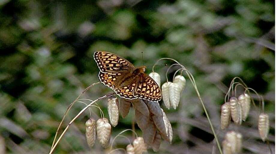 The endangered Callippe silverspot is found only on San Bruno Mountain and some hills in Cordelia. Photo: Keith Moreau