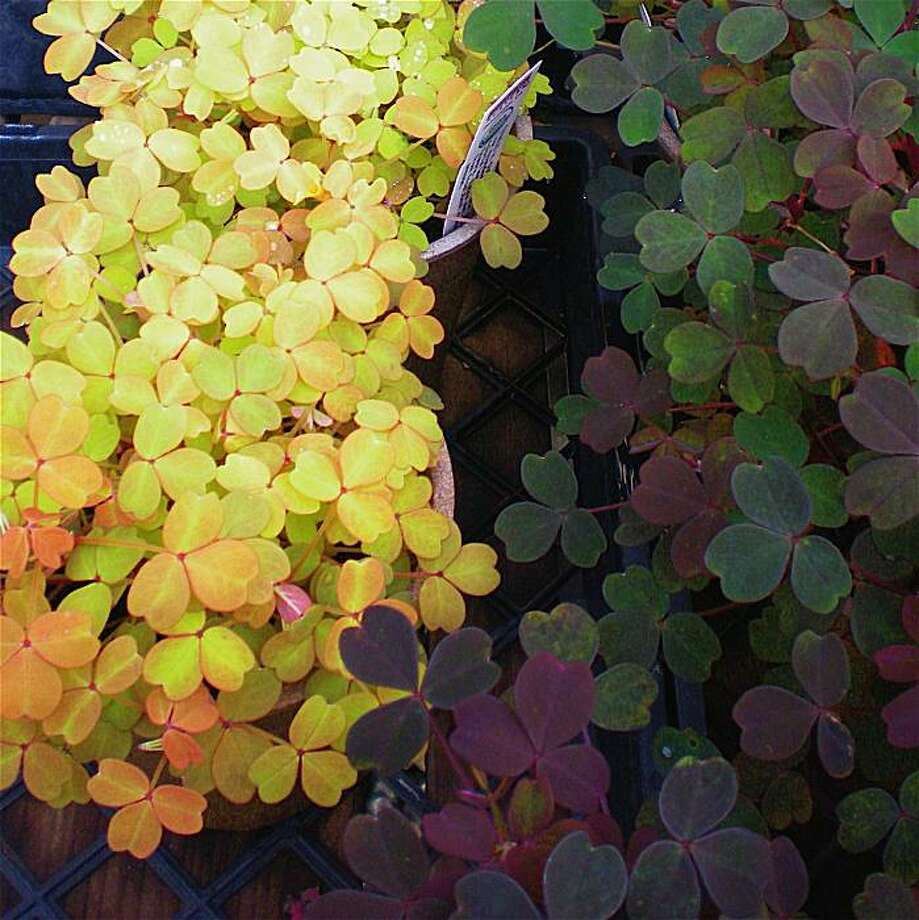 Two cultivars of the volcano sorrel: left, 'Sunset Velvet'; right, 'Copper Tones'. Photo: Ron Sullivan