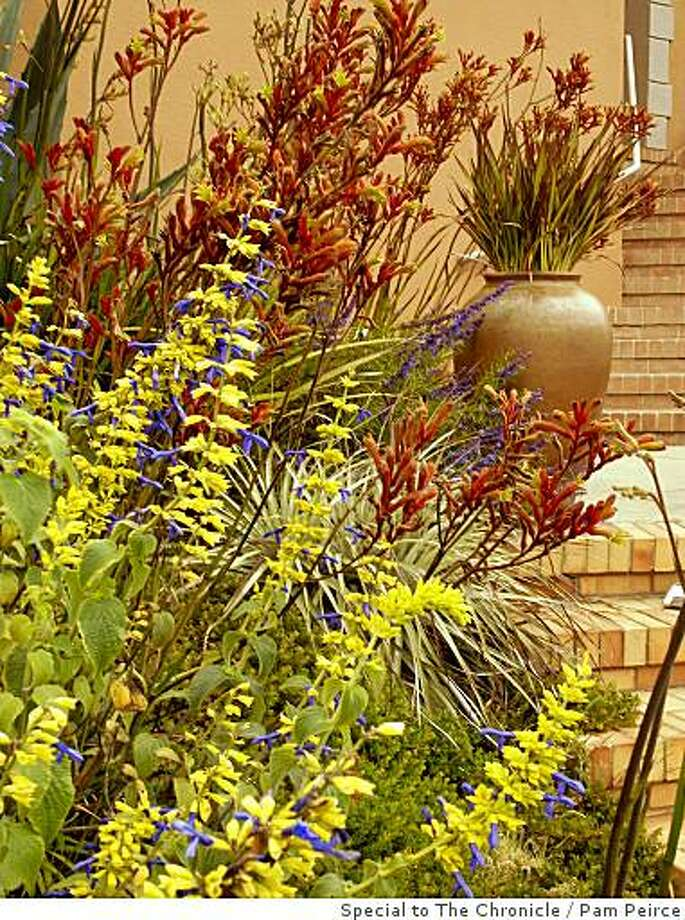 Salvia mexicana 'Limelight' in front (blue flowers), Anigozanthos has the red-orange flowers (it is known as kangaroo paws), and there is a dwarf Phormium (or New Zealand flax) in the pot in the right rear. Photo: Pam Peirce, Special To The Chronicle