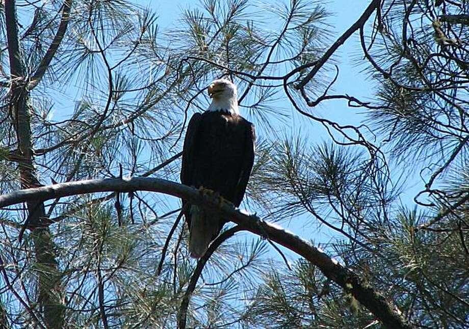 Eagle hikes at Cache Creek Photo: Greg Mangan
