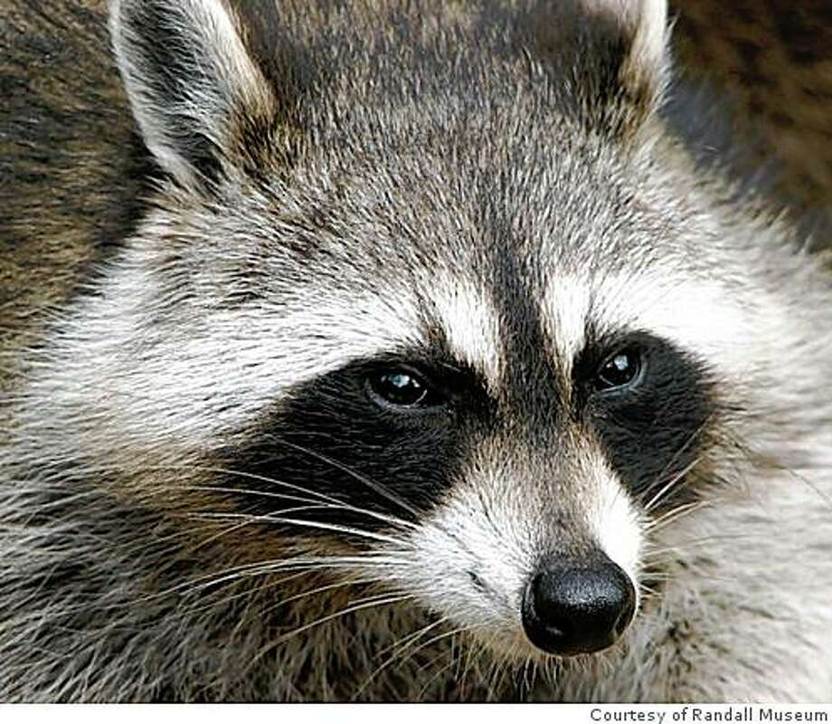 Find out more about raccoons and other untamed creatures that live along side us in the heart of San Francisco in �Wild in the City� an interactive exhibition at the Randall Museum in San Francisco. Photo: Courtesy Of Randall Museum
