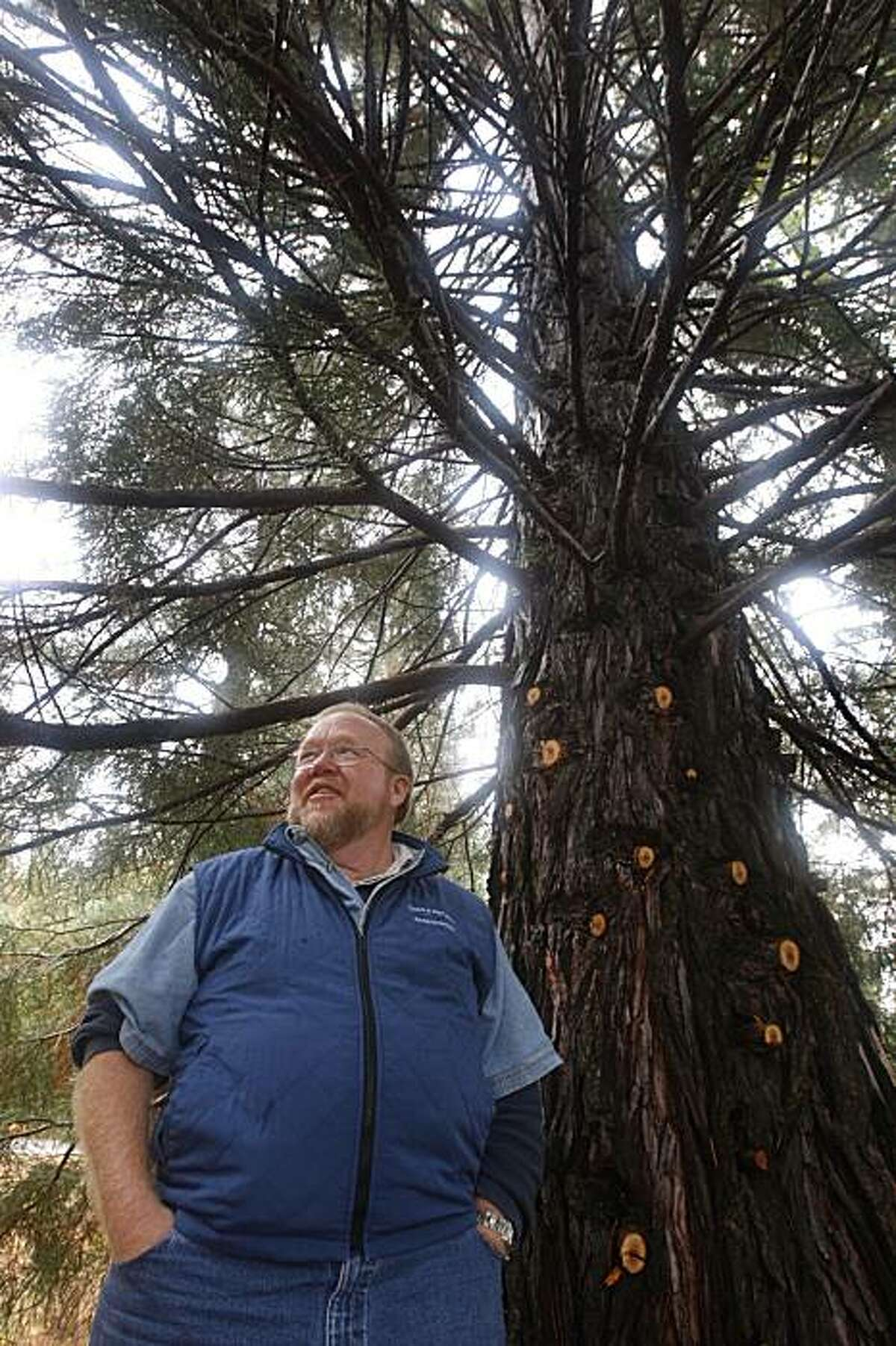 Ed Murphy, resource inventory manager for Sierra Pacific Industries, stands at the base of a 78-foot-tall Sequoia near Sonora, Calif., on Wednesday, Oct. 14, 2009. The tree was planted there in 1976. The company plans to sell off carbon offsets generated by its forests to power companies and investors.