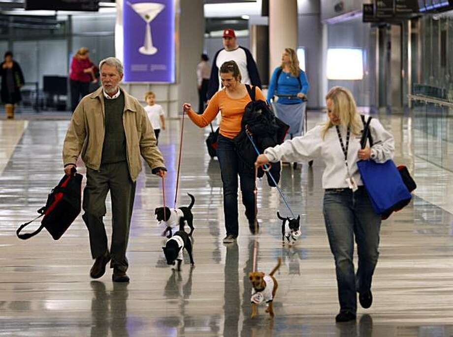 Neil Mosher, left, Erika Slovikoski, center, and Sarah Buckenberger walk Chihuahuas through the terminal for a New York bound flight at San Francisco International airport in San Francisco, Calif., on Wednesday, Jan. 6, 2010. San Francisco animal controlofficials say Chihuahuas are in abundance at California animal shelters, but they're in demand in other states like New York. Photo: Paul Chinn, AP
