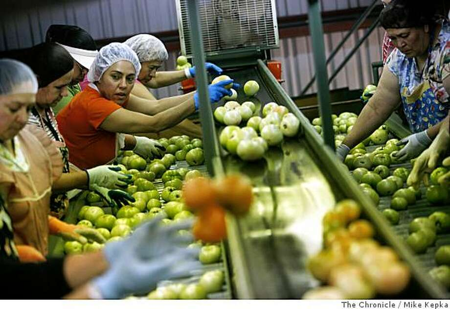 Maria Oliva sorts through a fresh batch of California round tomatoes at the Gonzales Packing Company on Friday July 18, 2008 in Gonzales, Calif. Salmonella scares last month forced the company to temporarily lay off almost all of their employees after a demand for tomatoes hit rock bottom during what would normally be height of the season.Photo by Mike Kepka / The Chronicle Photo: Mike Kepka, The Chronicle