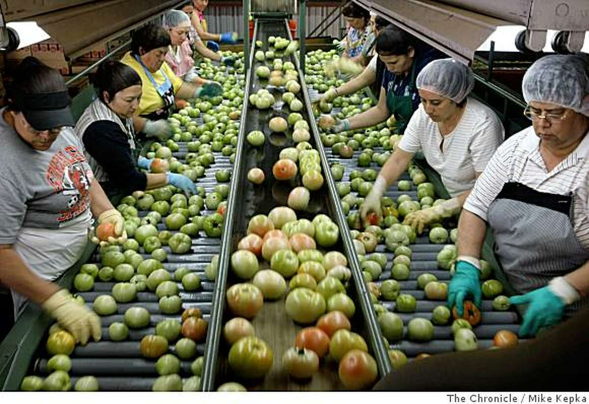 Workers sort through a fresh batch of California round tomatoes at the Gonzales Packing Company on Friday July 18, 2008 in Gonzales, Calif. Chronicle photo by Mike Kepka