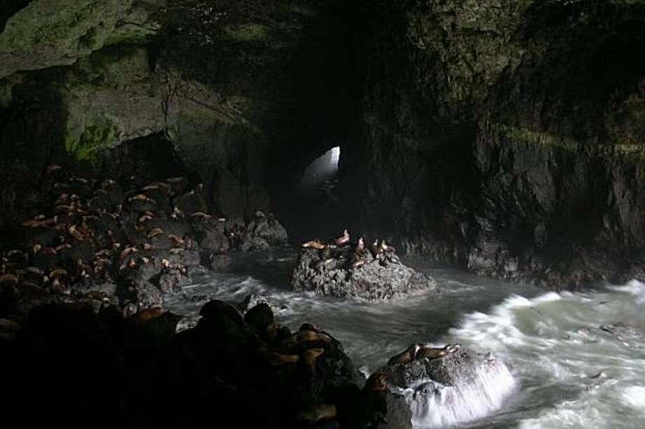 Sea Lion Caves near Florence, Ore. with estimated 400-500 Sea Lions on Jan. 06, 2010. Photo: Steve Saubert