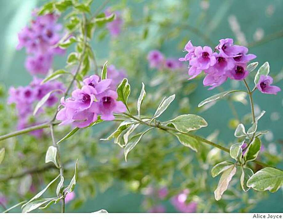 Prostanthera ovalifolia 'Variegata' is an Australian shrub - variegated mint bush - low water. Photo: Alice Joyce