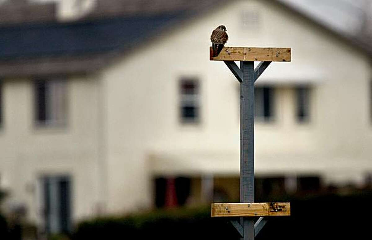 An American Kestrel takes up a position atop one of the perches at the Lime Ridge Recreation area which backs up to a residential commnity in Concord. Contra Costa County Department of Agriculture has installed 20 raptor perches at three different parks throughout the area in Walnut Creek and Concord, Ca. The department hopes that the birds will help control the squirrel population that damages property with their burrows.