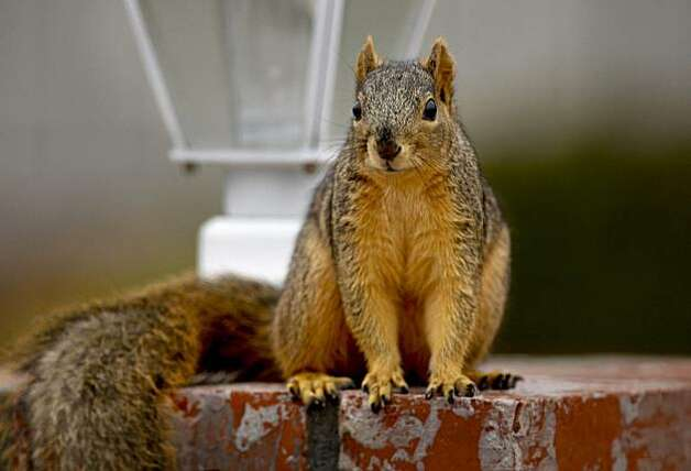 A squirrel atop a lamp post in the front of a home that is near the Lime Ridge Recreation area Walnut Creek. Contra Costa County Department of Agriculture has installed 20 raptor perches at three different parks throughout the area in Walnut Creek and Concord, Ca. The department hopes that the birds will help control the squirrel population that damages property with their burrowing. Photo: Michael Macor, The Chronicle