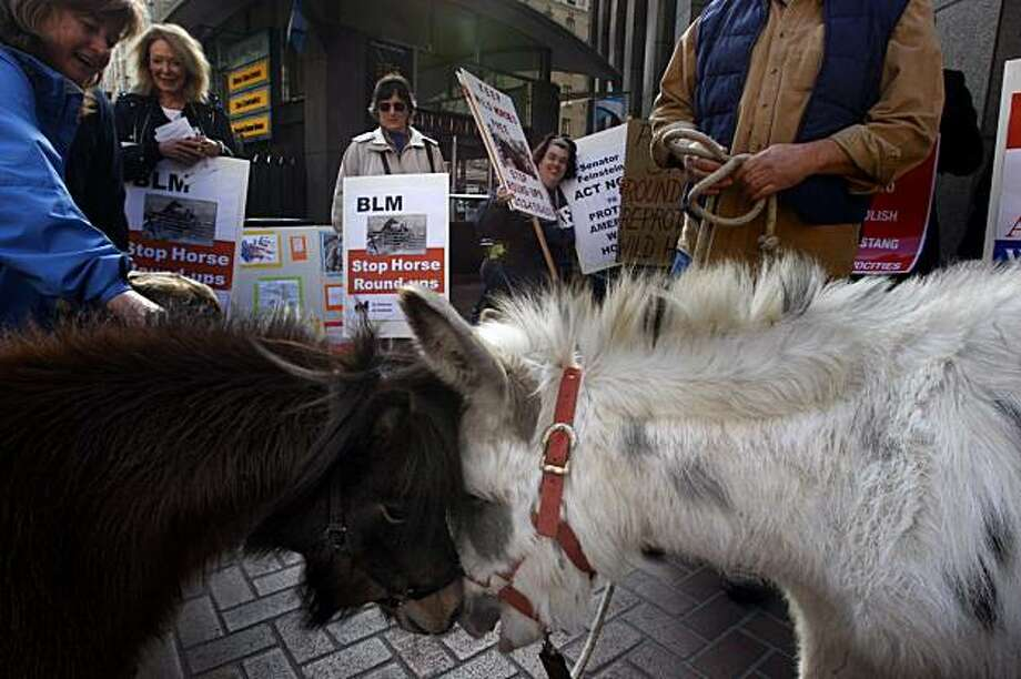 Figaro (left) and Fuffy (right) get to know each other as advocates for wild horses protest outside Diane Feinstein's office in downtown San Francisco, Ca., over a BLM round-up of mustangs in the Calico Mountains in Nevada on Wednesday,  December 30, 2009. Photo: Liz Hafalia, The Chronicle