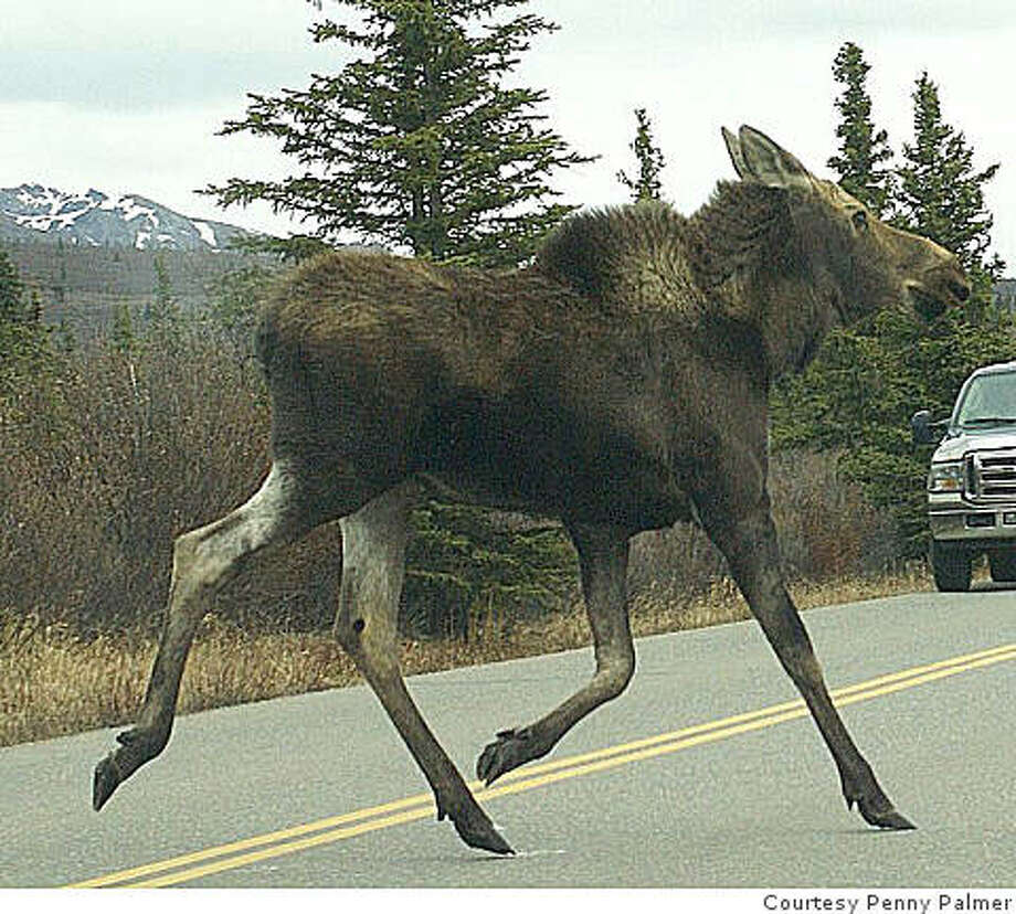A moose runs across the road, away from three bears, in Denali National Park, Alaska, in June 2008. Photo: Courtesy Penny Palmer