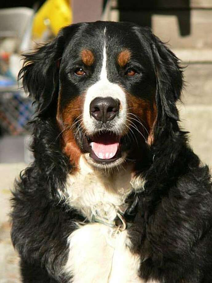 At 117 pounds, Ivy's definitely on the large side for a Bernese Mountain Dog, Photo: Elisse Gabriel