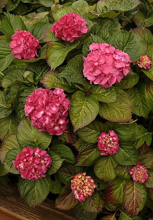 Beautiful bigleaf hydrangeas are sometimes tempting to thieves.   Flower retailers should be wary of buying hydrangeas that may be stolen. Photo: Pam Peirce