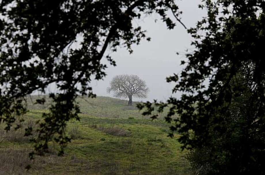 A lone Buckeye tree sits in the distance on a hillside covered with oaks. You're not likely to see many deer at Novato's Deer Island but you will have beautiful scenery and no crowds for your hike. Photo: Brant Ward, The Chronicle