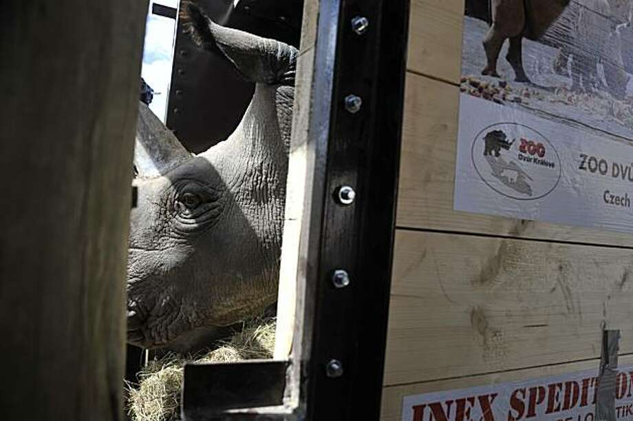 Sudan, a 20-year-old white rhino from the Czech Republic arrives at the Ol Pejeta Conservancy in Kenya on Sunday, Dec. 20, 2009. Four of the world's last known eight northern white rhinos landed in Kenya on Sunday and were transported to the game park where officials hope the endangered mammals will reproduce and save their sub species. (AP Photo/Riccardo Gangale) Photo: Riccardo Gangale, AP