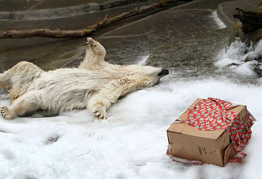 Pike, one of the polar bears of the San Francisco Zoo, plays in a snow next to a gift that has been given to him that contains fish and peanut butter. The San Francisco Ice Company donated 10 tons of ice that was blown into snow for the bears on Monday, December 21, 2009, San Francisco, Calif. Photo: Jana Asenbrennerova, The Chronicle