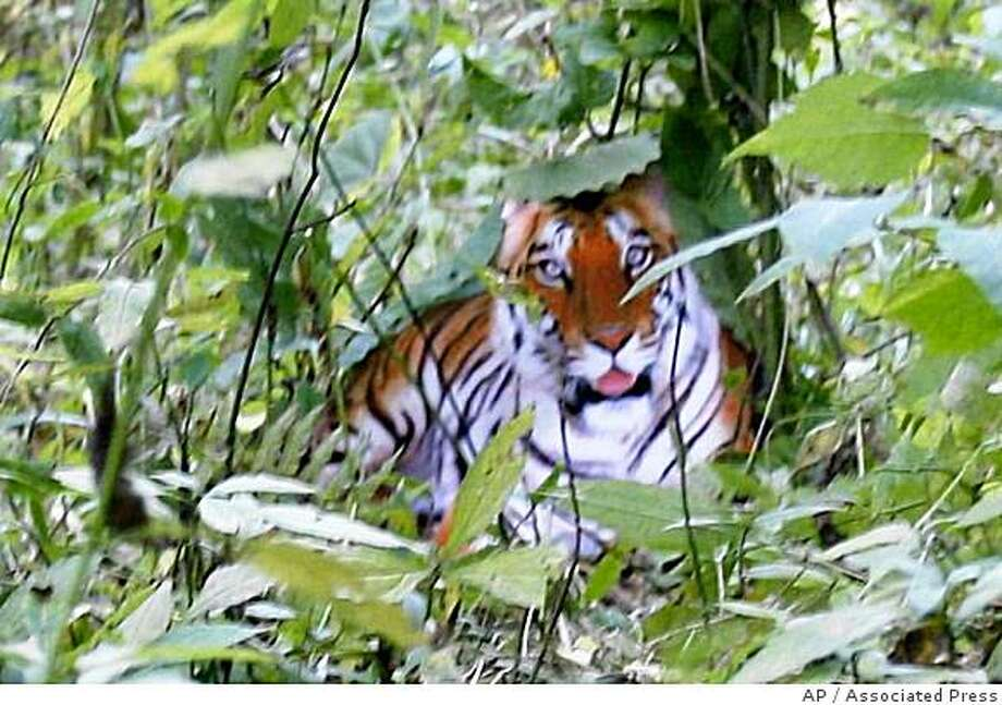 **EDS NOTE: THE PHOTO OF THE TIGER HAS BEEN MANIPULATED** **FILE** In a Oct 12, 2007 file photo, a fake photo purporting to show a South China tiger in the wild, provided by farmer Zhou Zhenglong, is seen during a press conference in Xian.  Speculation over the photo ended this week with confirmation the photo was faked and with more than a dozen officials punished. Zhou, who had placed a cut out from a poster amidst trees, and photographed it with a borrowed digital camera, was arrested on fraud charges. (AP Photo, File) ** CHINA OUT ** Photo: Associated Press, AP