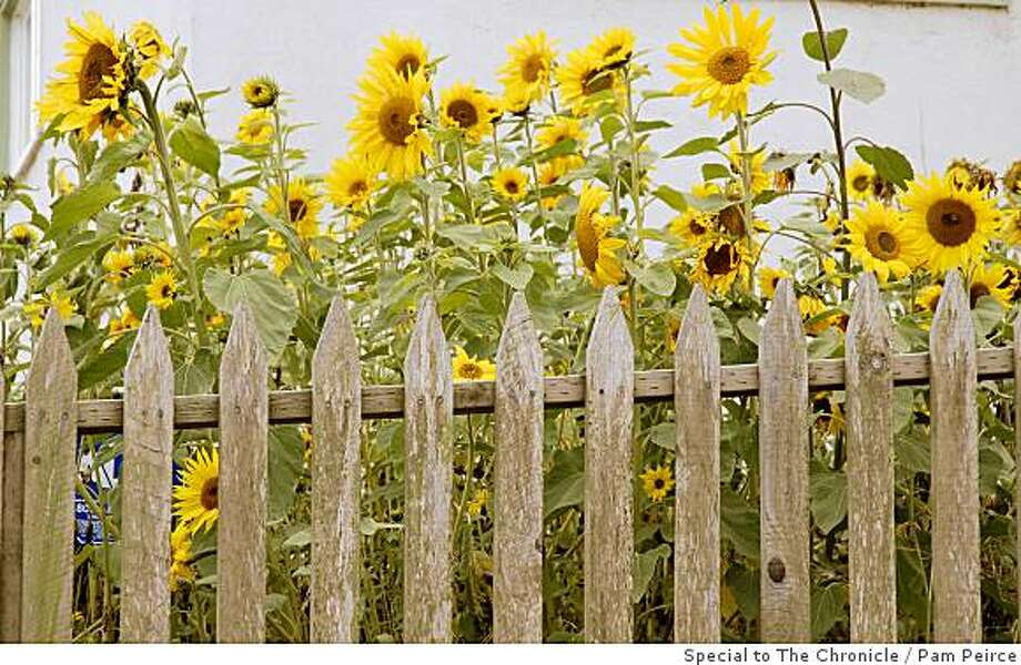 From a late spring or early summer planting, sunflowers bloom in late summer or early autumn.    orSunflowers from a June or July planting offer flowers for cutting in late summer or early fall. Photo: Pam Peirce, Special To The Chronicle