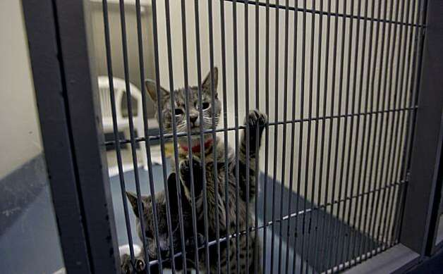 Two kittens at the SPCA in San Francsico waiting to be transported to Macy's Union Square, they are part of the holiday window project where Christmas shoppers can adopt a cat or dog on the spot. Photo: Michael Macor, The Chronicle