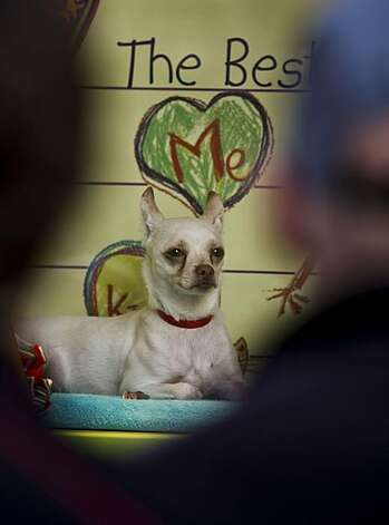 Don, a 3-year-old Chihuahua, in the display window for all to see on at Macy's Union Square. Photo: Michael Macor, The Chronicle