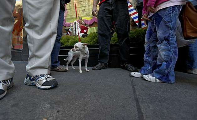 "Don, a 3-year-old Chihuahua, takes a break and goes for a walk at Macy's Union Square. ""Don"" is part of the holiday window project where Christmas shoppers can adopt a cat or dog on the spot from the SPCA. Photo: Michael Macor, The Chronicle"