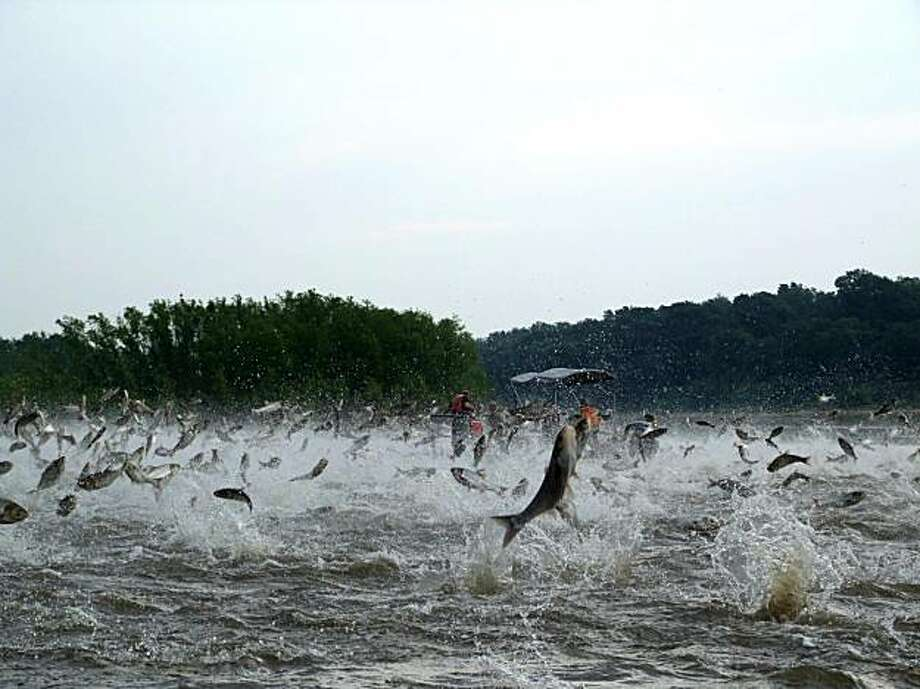 This early Dec. 2009 photo provided by the Illinois River Biological Station via the Detroit Free Press shows Illinois River silver carp jump out of the water after being disturbed by sounds of watercraft. Many fear that the Asian carp, which can reach 4 feet long and weigh up to 100 pounds, will wreak havoc, not by attacking native fish, but starving them out by gobbling up plankton. Federal and state officials are mounting a desperate, last-ditch effort to prevent the marauding carp from breaching an electrical barrier and slipping into the Great Lakes from the Mississippi River. Michigan is drawing up a lawsuit demanding the closing of shipping locks between the lakes and the Mississippi. (AP Photo/Illinois River Biological Station via the Detroit free Press, Nerissa Michaels) Photo: Nerissa Michaels, AP