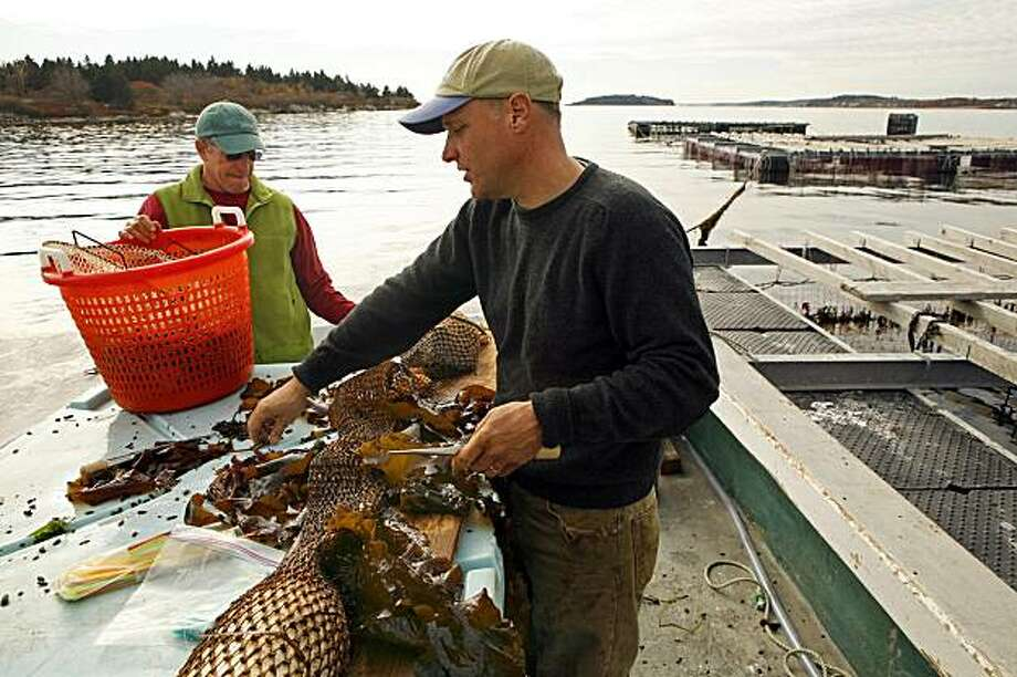 The first commercial kelp farm in America is being started by Tollef Olson, left, and Paul Dobbins in Portland, Maine. Here they prepare juvenile kelp plants that will grow hanging from rafts near Bangs Island, Maine. Illustrates KELP (category a) by Bob Drogin (c) 2009, Los Angeles Times. Moved Saturday, Dec. 5, 2009. (MUST CREDIT: Los Angeles Times photo by Carolyn Cole.) Photo: CAROLYN COLE, TPN