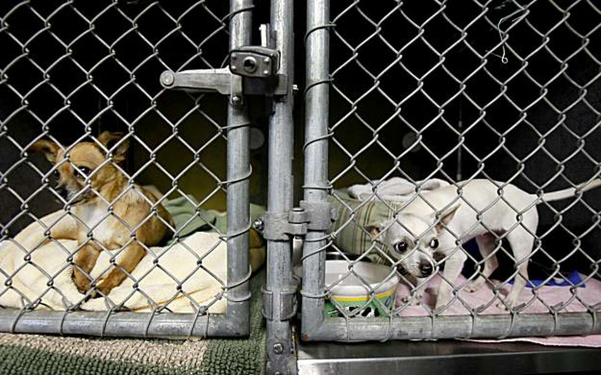 Two chihuahuas wait in smaller pens, away from the large dogs, for the time they can be adopted. There has been an increase in the numbers of chihuahuas and other small dogs at animal shelters like the Berkeley animal shelter.