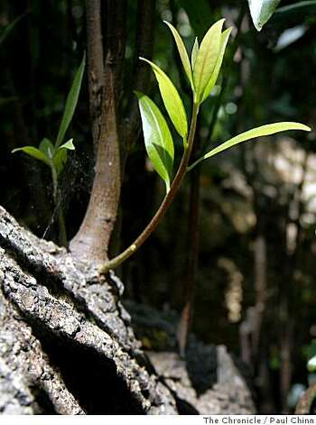 New growth sprouts from a mature California bay laurel tree at Codornices Park in Berkeley, Calif., on Tuesday, June 24, 2008. A study released by UC Berkeley researchers suggest that native plants in California may suffer a dramatic decrease in numbers due to global climate change.Photo by Paul Chinn / The Chronicle Photo: Paul Chinn, The Chronicle