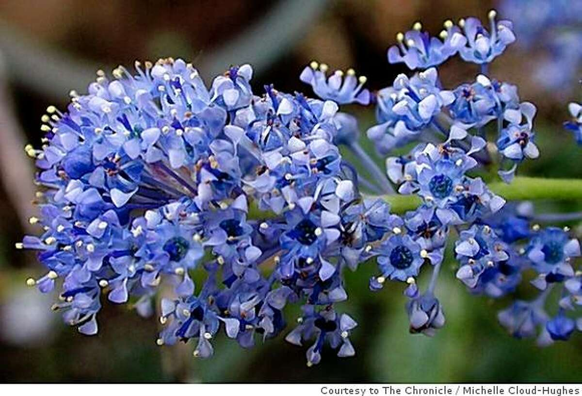 Woolyleaf Ceanothus is found throughout the mountains of southern California, below 5000 feet, and in the central foothills of the Sierra Nevada. Under future climates, it may be restricted to low-lying areas, most of which are already highly urbanized, but could expand across wide areas of the coast ranges as far north as Humboldt county.Michelle Cloud-Hughes / Courtesy to The Chronicle