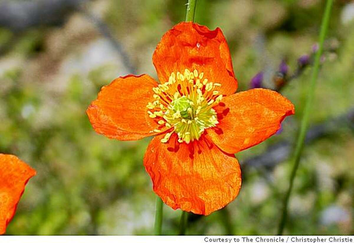 The fire poppy is an annual wildflower frequently seen shortly after fires at low elevations from San Diego to the Bay Area. In the future, it is projected to disappear in most areas south of Ventura, and shift towards the coast and northwards past the Bay Area.Christopher Christie / Courtesy to The Chronicle