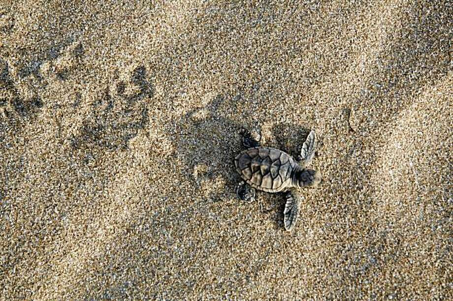 Only one in 1,000 hatchlings survives the 30-year journey  to maturity. But if they do, the females usually return to the same beach from which they hatched to lay their own eggs. Photo: Louise Southerden , Special To The Chronicle