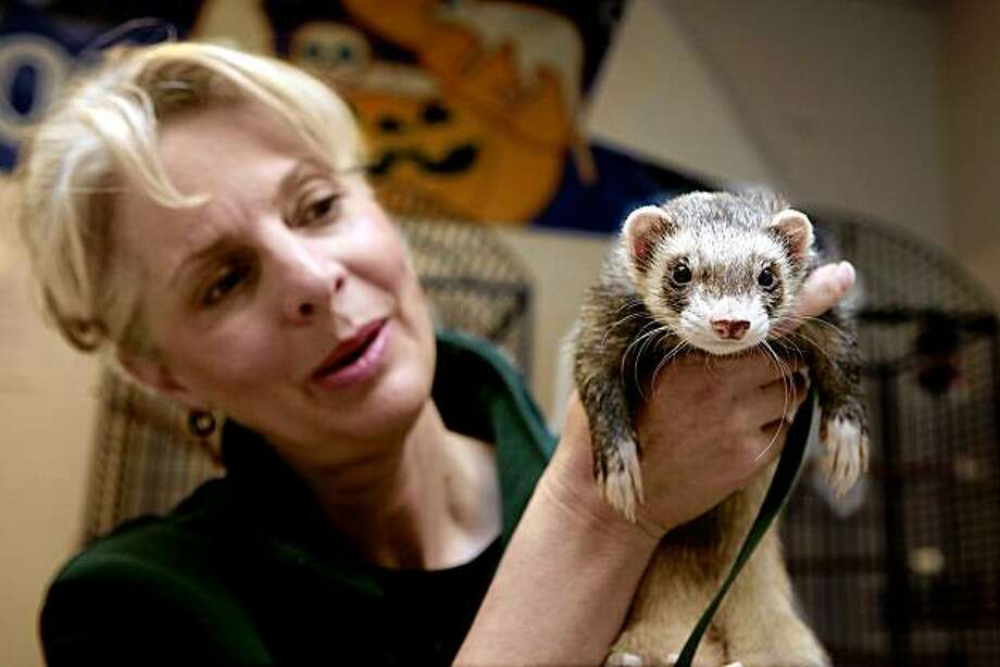 "Cindy Pukatch holds ""Luigi"" the Feret before taking him out to the kids. Cindy Pukatch is a docent for the Oakland Zoo and volunteers showing animals to children on Sunday November 8th in Oakland, California. Photo: John Storey, Special To The Chronicle"