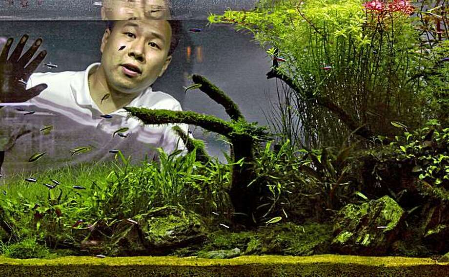 "Steven Lo, behind one of his many freshwater tanks. The art of ""Aquascaping"" at Aqua Forest Aquarium"", in San Francisco, Calif. Photo: Michael Macor, The Chronicle"