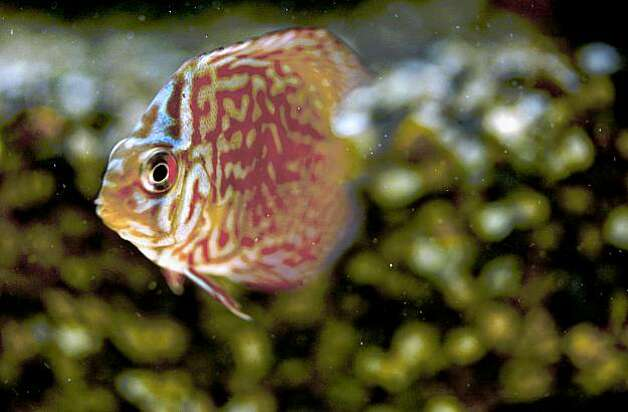 "A Turquiose Discus swims through a freshwater tank. The art of ""Aquascaping"" at Aqua Forest Aquarium, in San Francisco, Calif., on October 23, 2009. Photo: Michael Macor, The Chronicle"