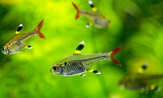 "Pristella Tetra, swim among the plant life inside the freshwater tankl. The art of ""Aquascaping"" at Aqua Forest Aquarium"", in San Francisco, Calif. Photo: Michael Macor, The Chronicle"
