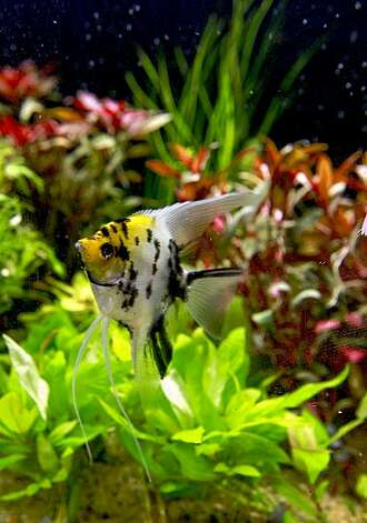 "An Angel fish glides around an aquarium filled with plant life. The art of ""Aquascaping"" at Aqua Forest Aquarium, in San Francisco, Calif., on October 23, 2009. Photo: Michael Macor, The Chronicle"
