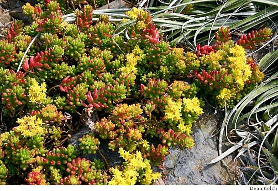 Jellybean plantSedum X rubrotinctum Photo: Dean Kelch