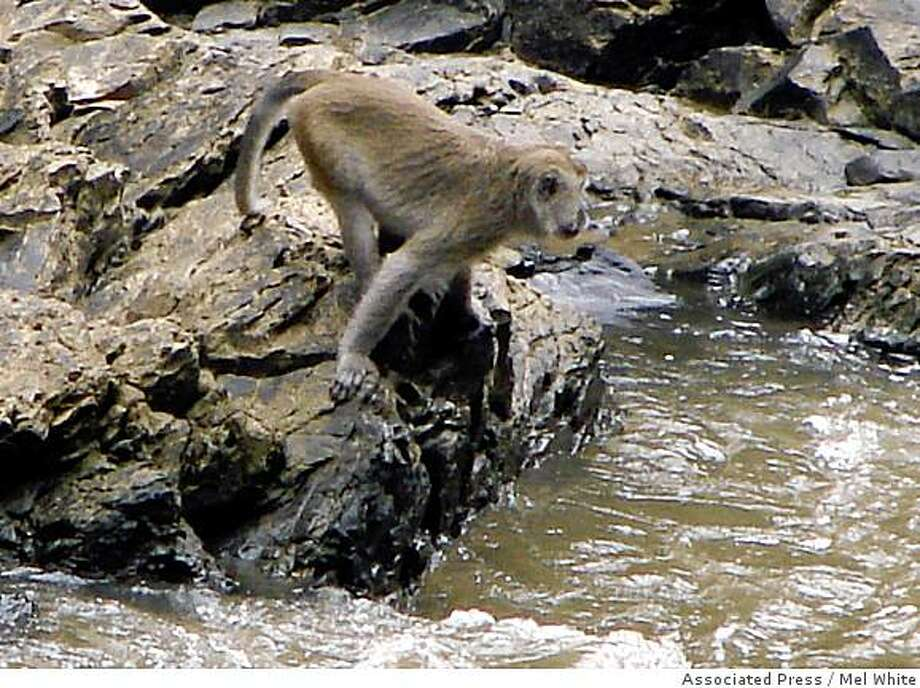 A long-tailed macaque monkey looks for fish in a river in Lesan, East Kalimantan, Indonesia, in Sept. 2007. Long-tailed macaque monkeys have a reputation for knowing how to find food, whether it be grabbing fruit from jungle trees or snatching a banana from a startled tourist.  Now, researchers say they have discovered groups of the silver-haired monkeys in Indonesia that fish.   (AP Photo/Mel White) Photo: Mel White, Associated Press