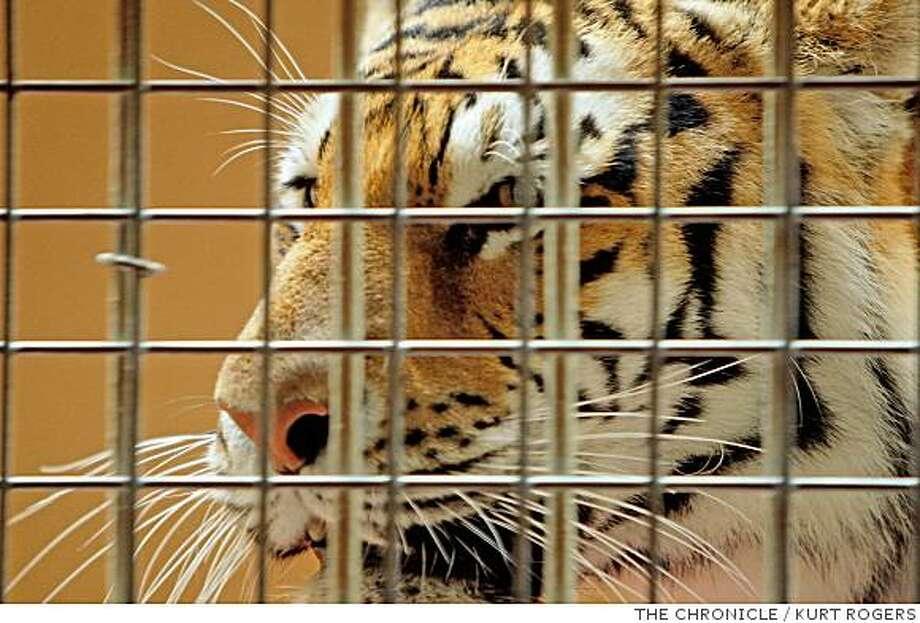 tiger Photo: KURT ROGERS, THE CHRONICLE