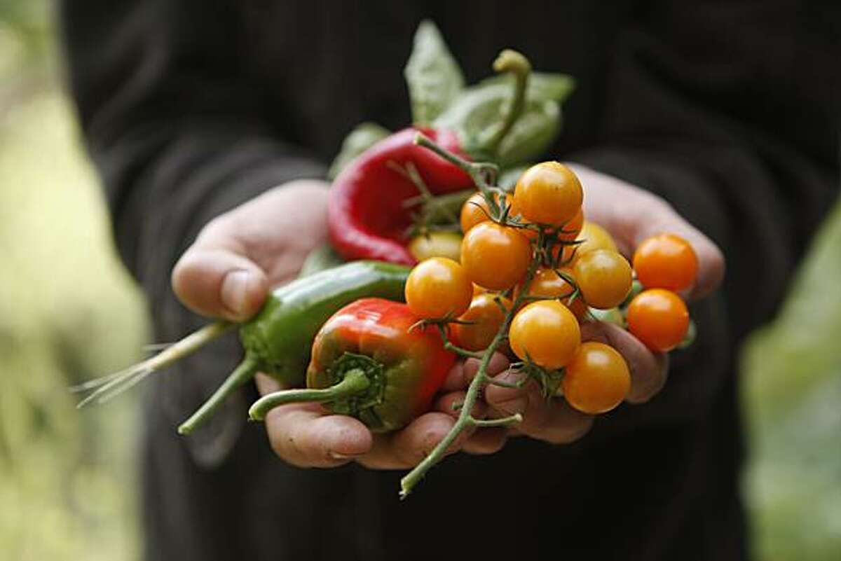 Landscape designer, Bernadro Lopez shows off a freshly harvested collection of edibles from Michael Pollan's new garden on Tuesday, Oct. 27, 2009 in Berkeley, Calif.