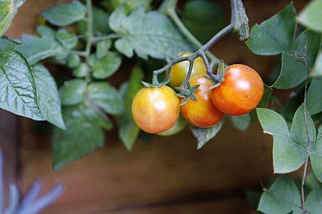 Edible tomatoes are showcased in Landscape designer, Bernadro Lopez's latest creation at Michael Pollan's home on Tuesday, Oct. 27, 2009 in Berkeley, Calif. Photo: Mike Kepka, The Chronicle