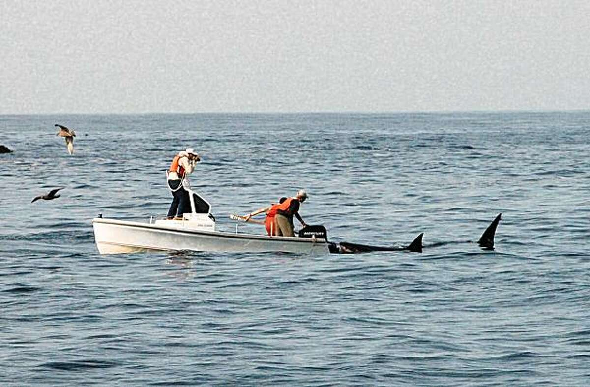 The tagging team watches as a white shark passes by. The Farrallon Islands are in the background.
