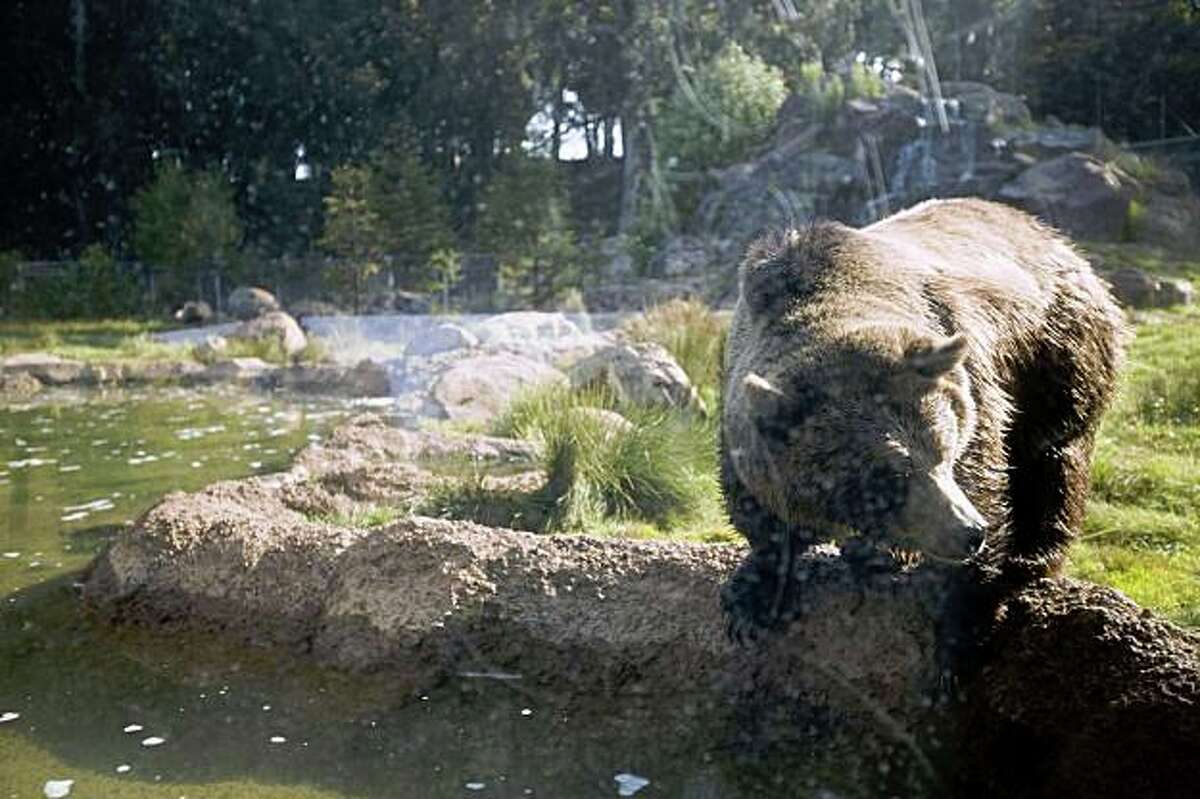 A grizzly bear looks into the water at the San Francisco Zoo on Sunday. A 21-year old man sneaked into the exhibit Saturday during closing hours but escaped unharmed.