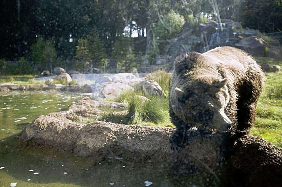 A grizzly bear looks into the water at the San Francisco Zoo on Sunday. A 21-year old man sneaked into the exhibit Saturday during closing hours but escaped unharmed. Photo: Stephen Lam, The Chronicle