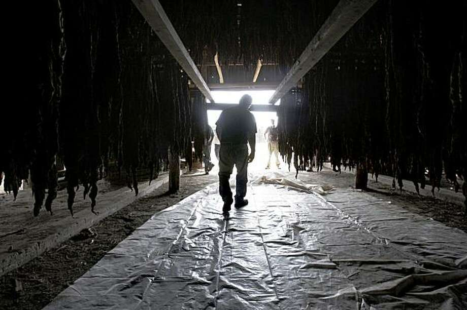 In this Sept. 23, 2009, photo, tobacco farmer John Arnold bends over as he ducks under hanging racks of broadleaf tobacco drying in a barn at his family farm in Southwick, Mass. (AP Photo/Charles Krupa) Photo: Charles Krupa, AP